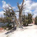 Bristlecone, poem by Fred Marchant