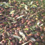 Olive Harvest, poem by Fred Marchant